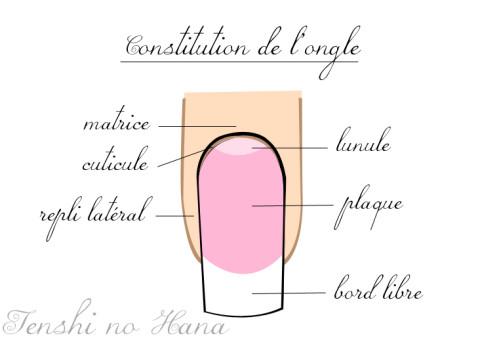 constitution de l'ongle