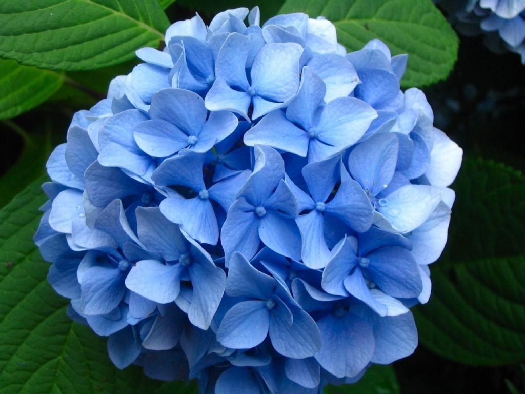 Hydrangea+blossom-3899